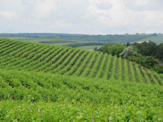 Winnica w miejscowości Cricova.