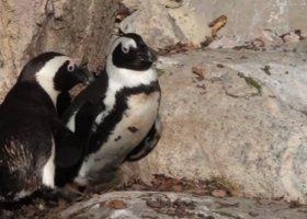 Kanada: koniec gejowskiego romansu w zoo?