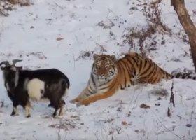 Przyjaźń kozła i tygrysa promuje homoseksualność wśród nieletnich?