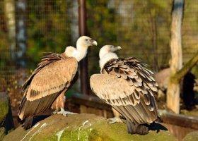 Jednopłciowa para sępów adoptowała... odrzucone jajo
