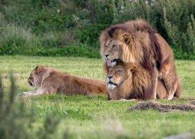 Król zwierząt też lubi chłopaków