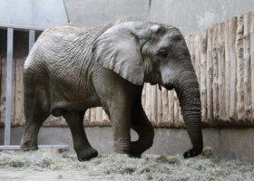 Słoń Ninio jest już pełnoletni