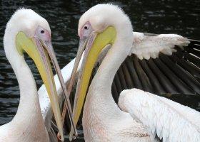 Zoo w Amsterdamie pokazuje homoseksualne zwierzęta