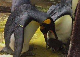 Para homoseksualnych pingwinów porwała potomstwo parze hetero